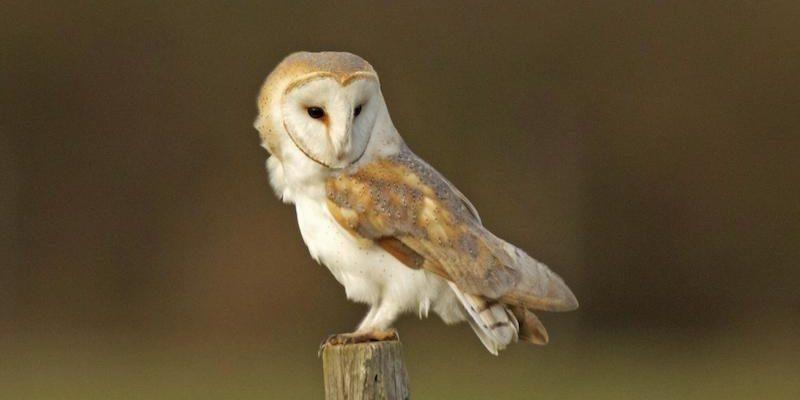 Barn owl Russell Savory